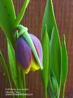 Fritillaria uva-vulpis Marian Parra www.tiendabotanica.es