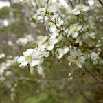 White Flowers (12994)