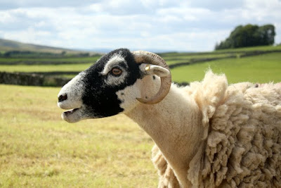 A sheep in a field in the Eden Valley in Cumbria England