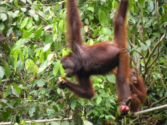 Orangutan Sepilok Borneo Malaysia