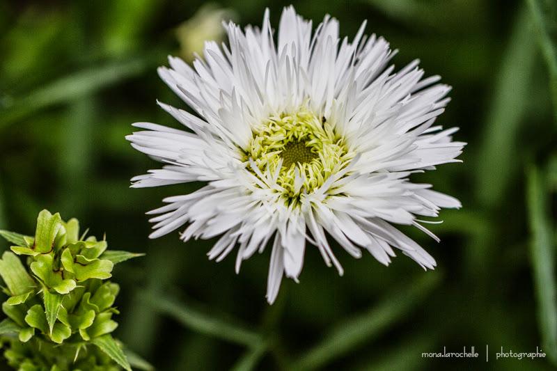 Leucanthemum Santé Leucanthemum-sante-130809_2-126rm