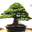 32 Podocarpus macrophyllus.JPG