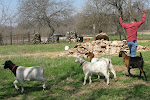 The goats follow Pone wherever he goes