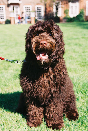 top 10 family dogs labradoodle