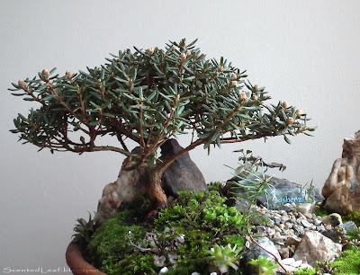P.J.M. Rhododendron bonsai