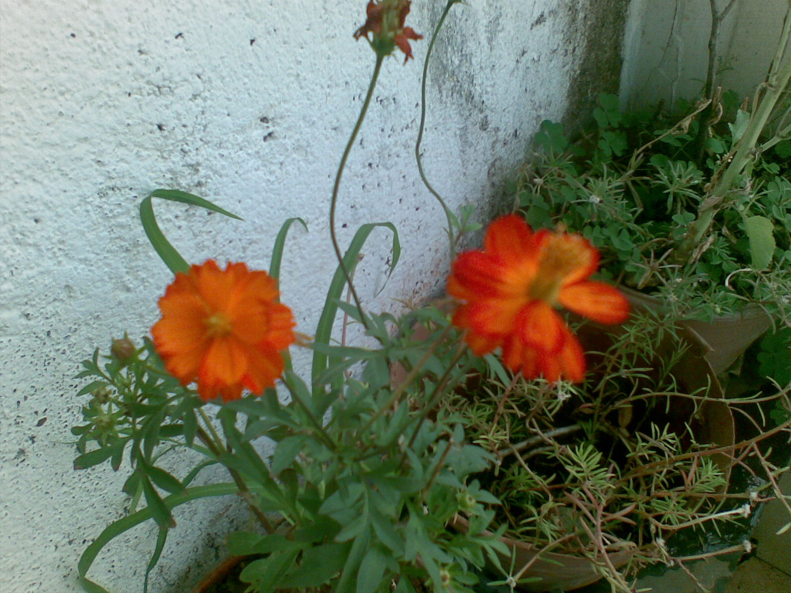 My Blogs Space Myself First Flower Is Going To Bloom