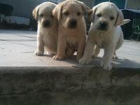 labrador puppies for sale — Lahore