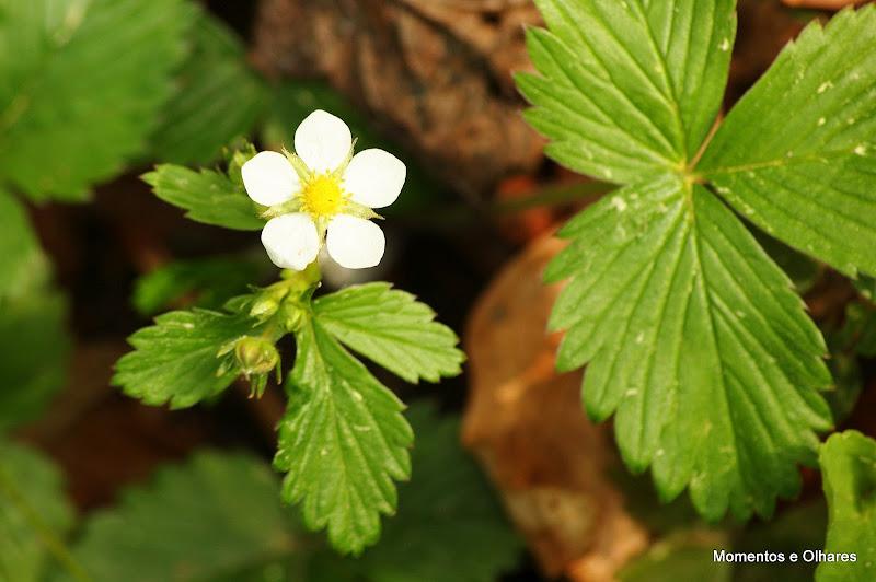 Flor de morango Silvestre
