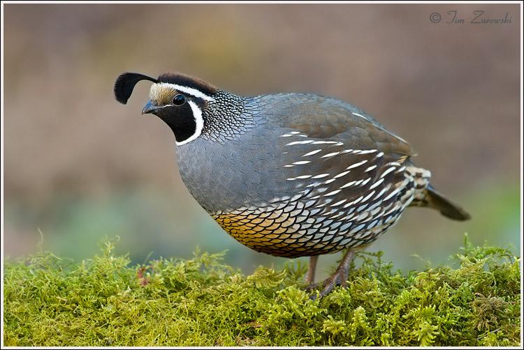 quails - photo #8