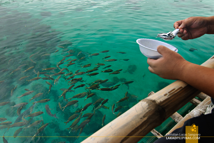 Fish Feeding at the Juag Marine Sanctuary in Matnog, Sorsogon