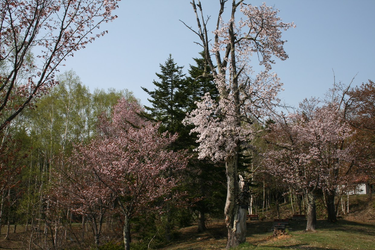 金比羅公園の桜(2)