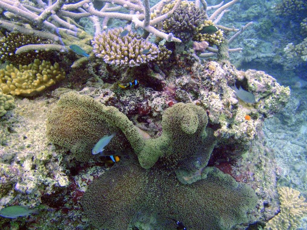 Merten's Carpet Anemone (Stichodactyla mertensii) with a Black Clark's Clownfish (Amphiprion clarkii)