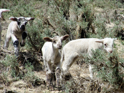 Lambs along Gordon Creek