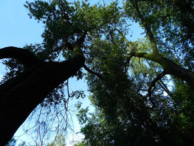 Лианозовский дуб