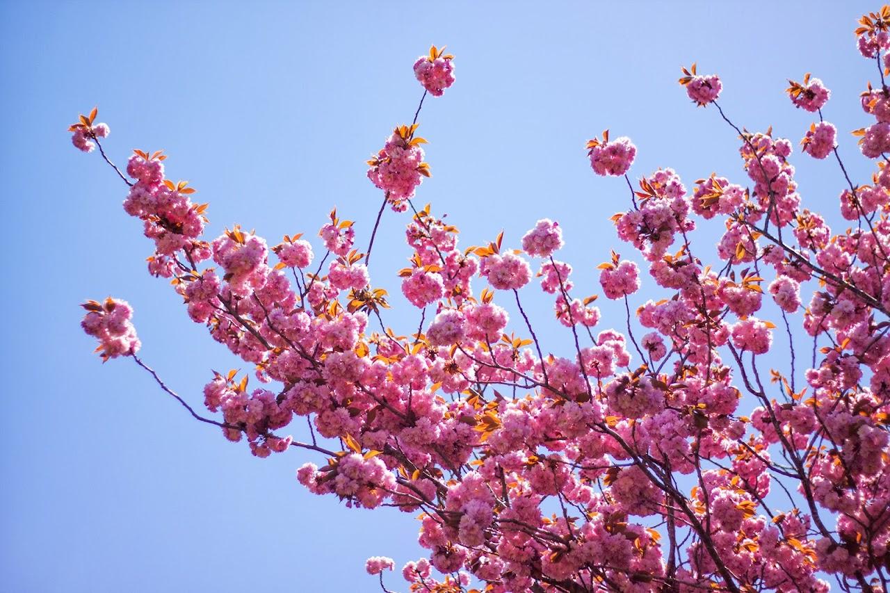 八重桜/伊香保グリーン牧場