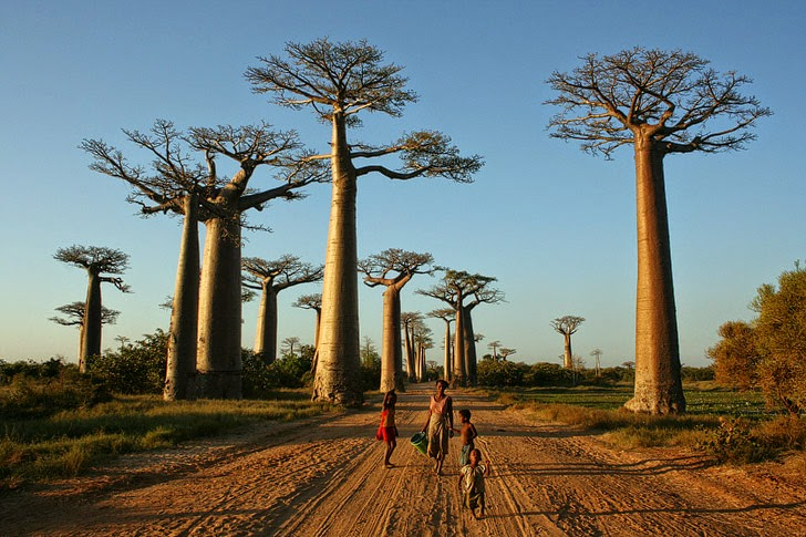 Baobab Trees Madagascar (11 Most Amazing Trees to See in Your Lifetime).