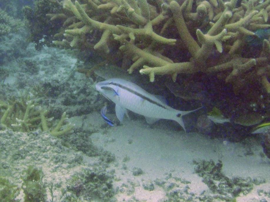 Parupeneus barberinus (Dash-and-dot Goatfish) being cleaned, Naigani Island, Fiji