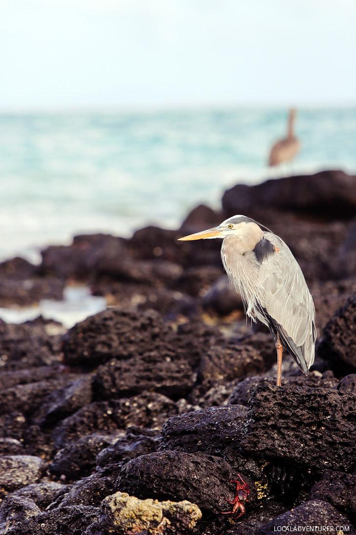 Great Blue Heron - Galapagos Birds.