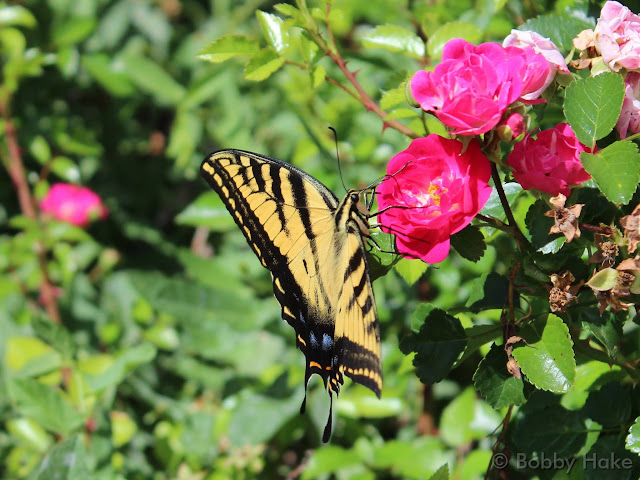 August 7, 2014 - A butterfly enjoys blooming flowers in Thornton. (Bobby Hake)