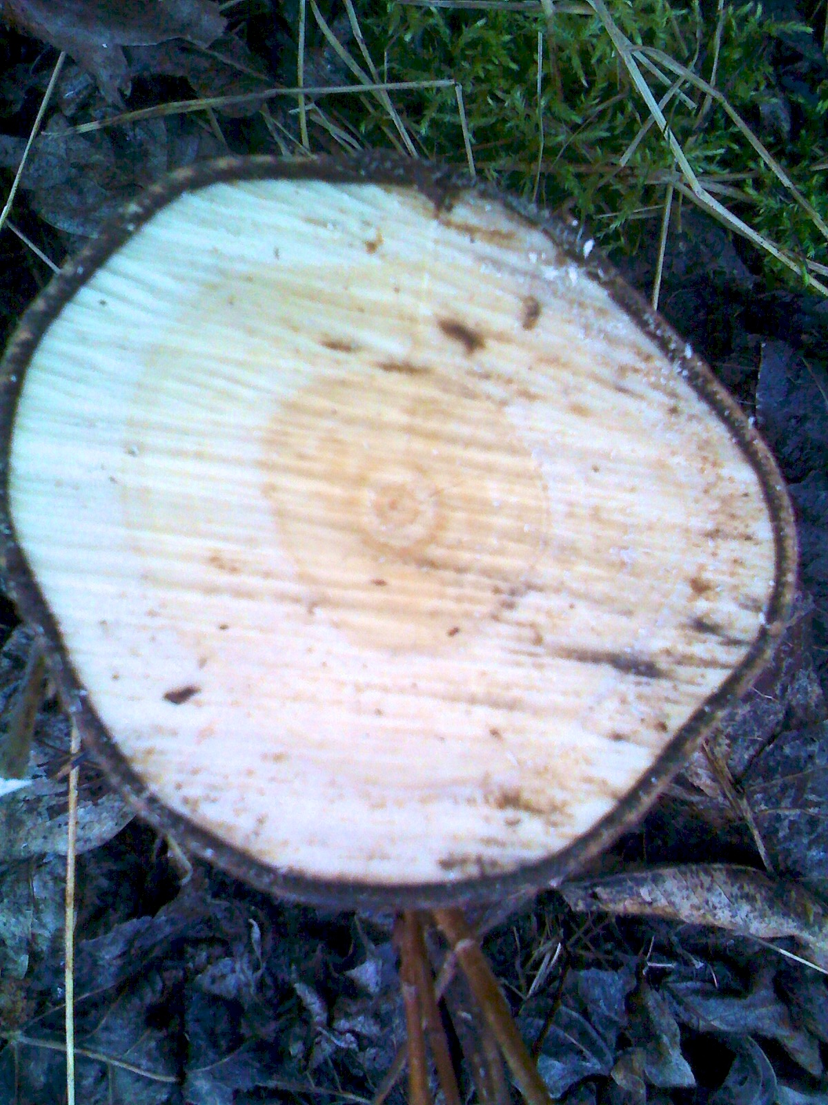 5 Year old Black Cottonwood stem