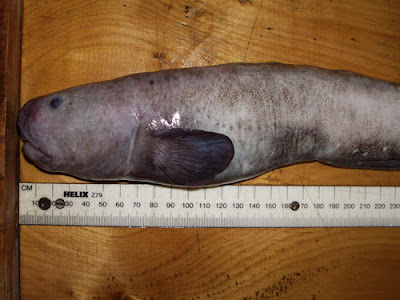 Ugly Fish of the Day: Brown Eelpout