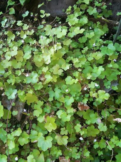 Cymbalaria muralis pianta infestante rampicante ricadente - Pianta sempreverde da giardino ...