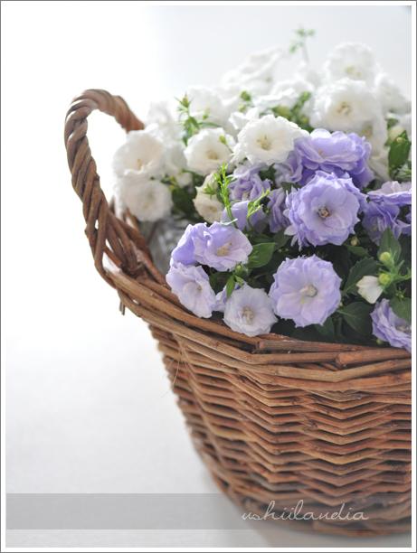 wiosenne kwiaty - campanulla