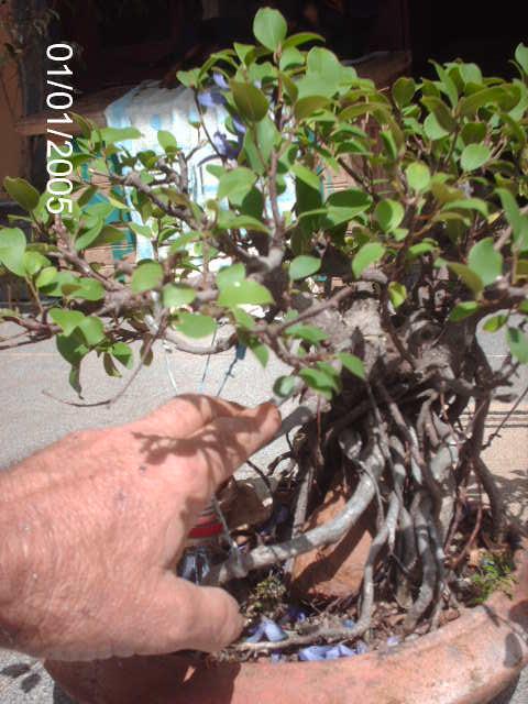 Ficus Microcarpa do Roberto Teixeira... PICT1649