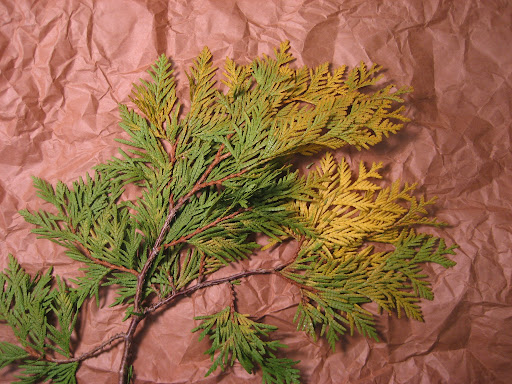 Golden arborvitae