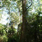 Tall Rain Forest in Blackbutt Reserve (399667)