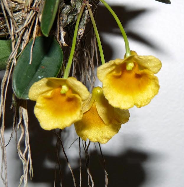 Dendrobium jenkinsii P1430051
