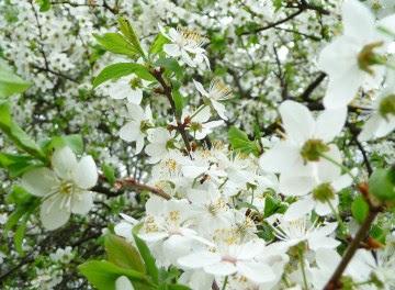 Śliwa wiśniowa, ałycza Prunus cerasifera