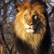 к чему снится лев во сне?