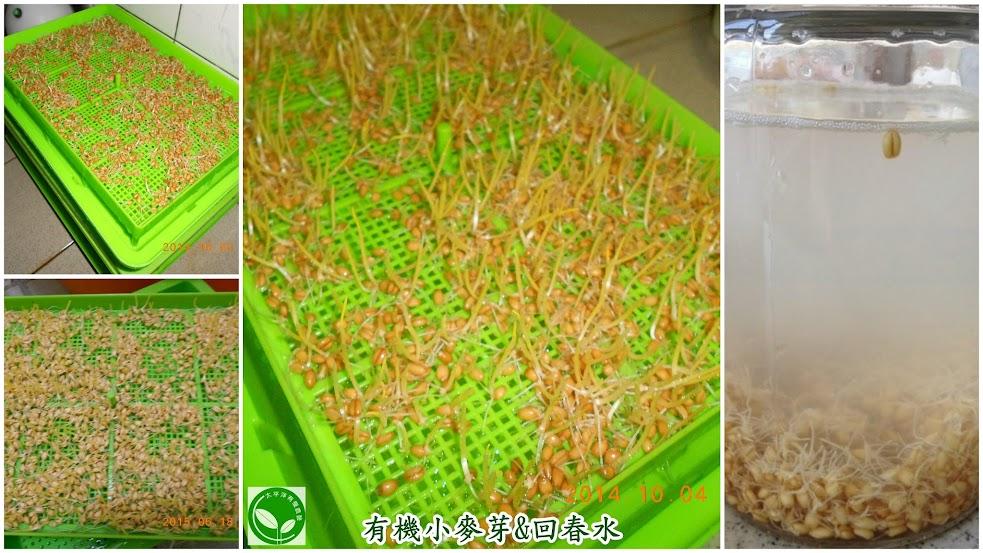 小麥,小麥胚芽,回春水,貓草,種貓草,如何種貓草,小麥草水耕法,自己種貓草,貓草怎麼種,有機芽菜,芽菜機,芽菜箱,水耕盤,芽菜種子,水耕貓草