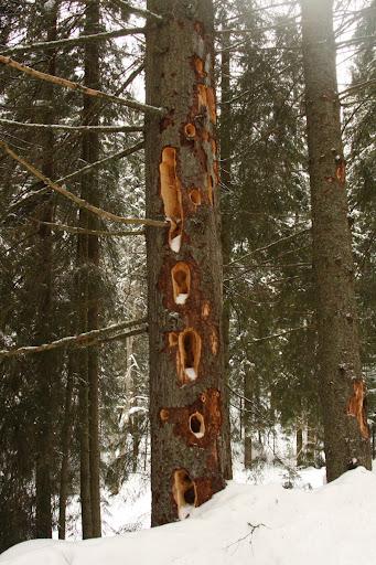 copac iarna zapada ciocanitoare Covasna Muntii Vrancei scorbura