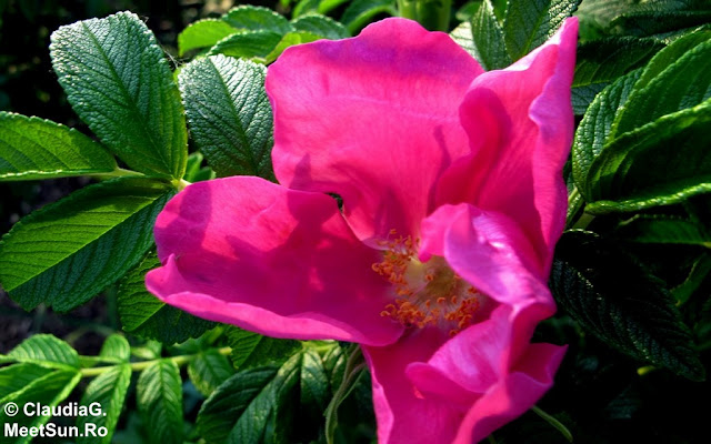 maces roz inchis