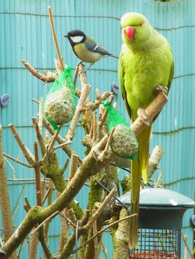 des perruches à collier dans mon jardin PERRUCHE+A+COLLIER+%25284%2529