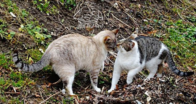 pisici sighisoara