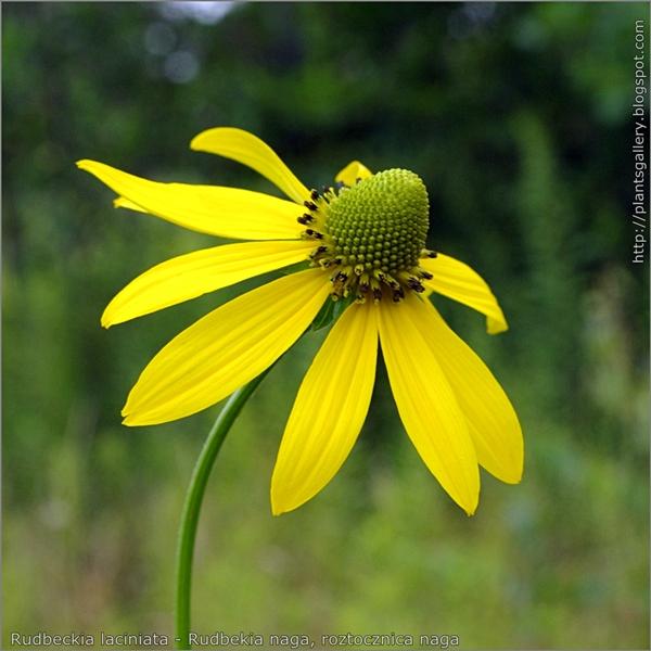 Rudbeckia laciniata flower - Rudbekia naga kwiat