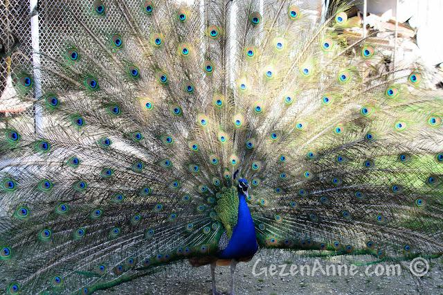 tüm sesiyle bağıran tavus kuşu, Uluabat Kuş Cenneti