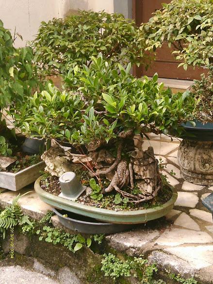 Ficus Microcarpa, finalização Rapida... IMAG0173