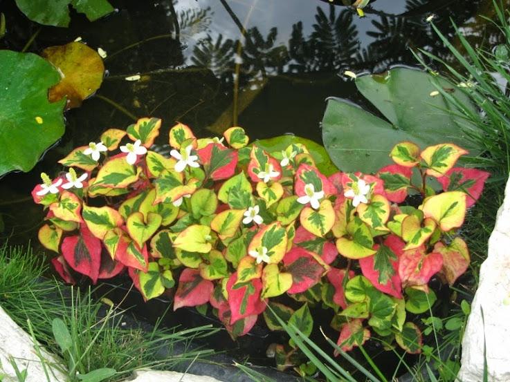 Piante per nuovo laghetto pagina 3 forum giardinaggio for Piante per laghetto