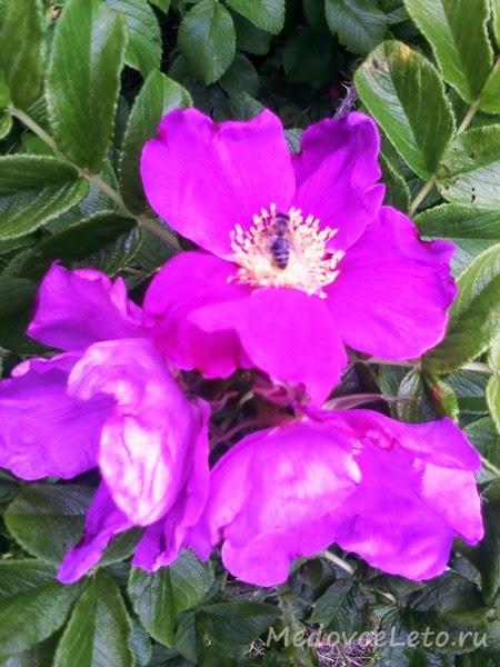 Цветущий шиповник тоже очень нравится пчёлкам