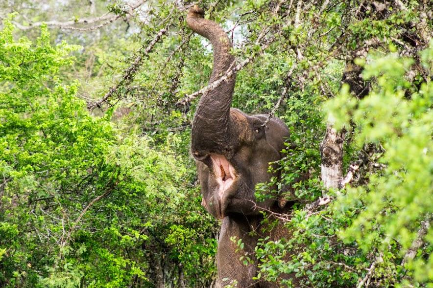 Elephant eating breakfast in Yala National Park, Sri Lanka.