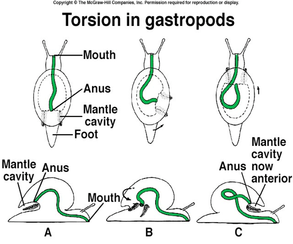 because the shell of a snail only has one opening their body plan is  twisted  this twisted body plan is called torsion
