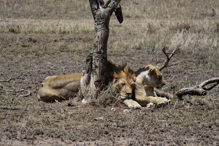 How Do Lions Have Sex 25