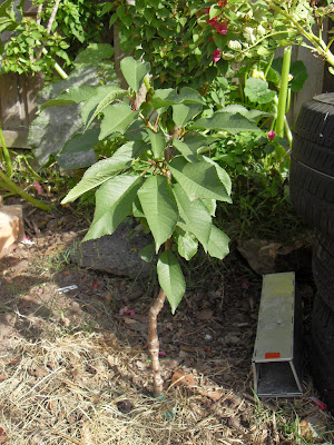 This lapins cherry is growing well