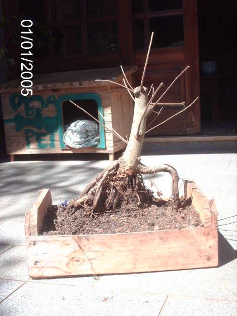 Ficus Microcarpa var. Indica... PICT1612