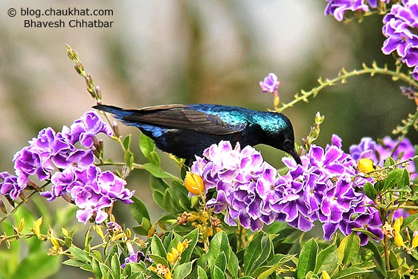 Male Purple Sunbird [Cinnyris asiaticus] sitting on a branch drinking nectar from flowers