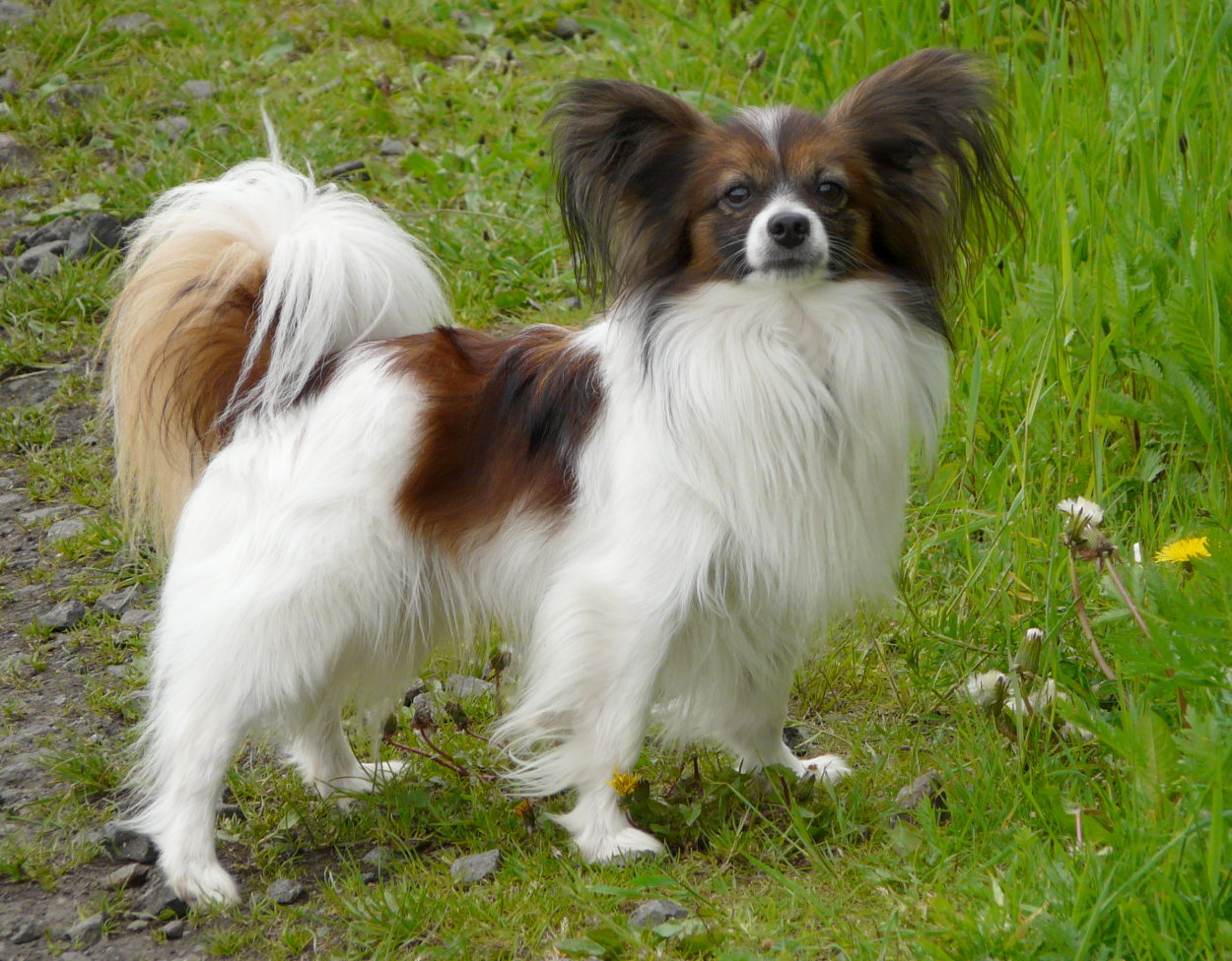 best dog breeds papillion